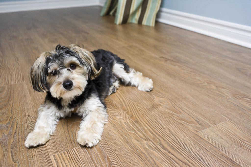 Dog on laminte floor