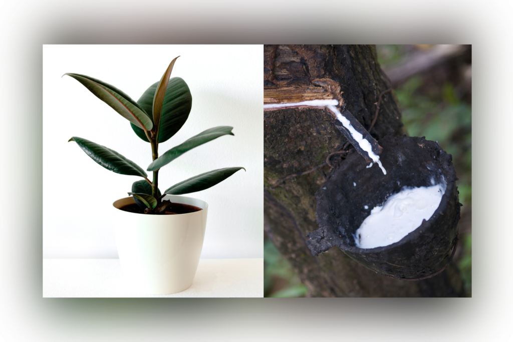 Rubber Tree and Sap